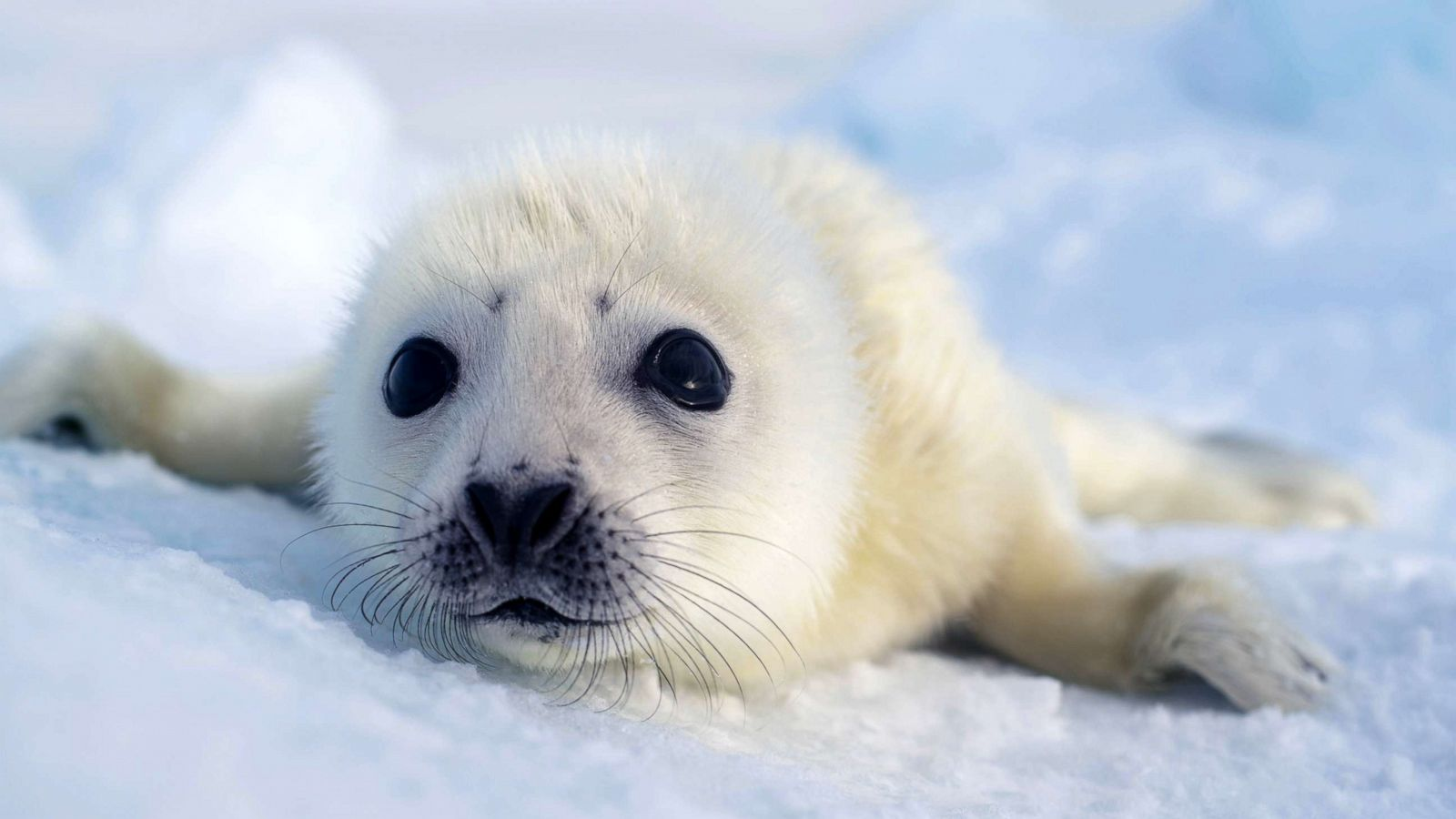 baby-seal-01-abc-jef-200310_hpMain_16x9t_1600